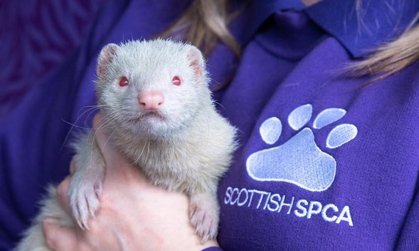 Ferret with red eyes held by member of staff