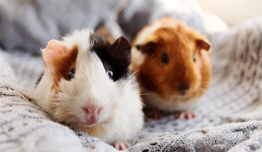 Guinea Pigs Sspca