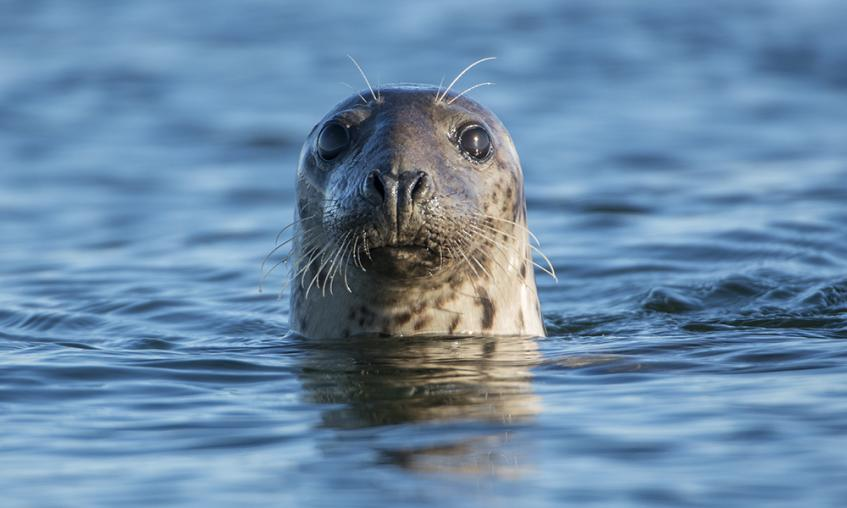 Seal head poking out of water
