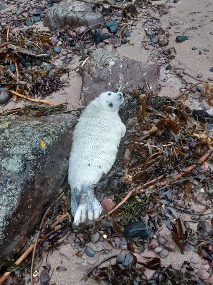 Seal rescue in Eyemouth