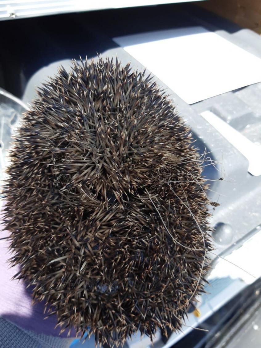 Hedgehog injured in garden