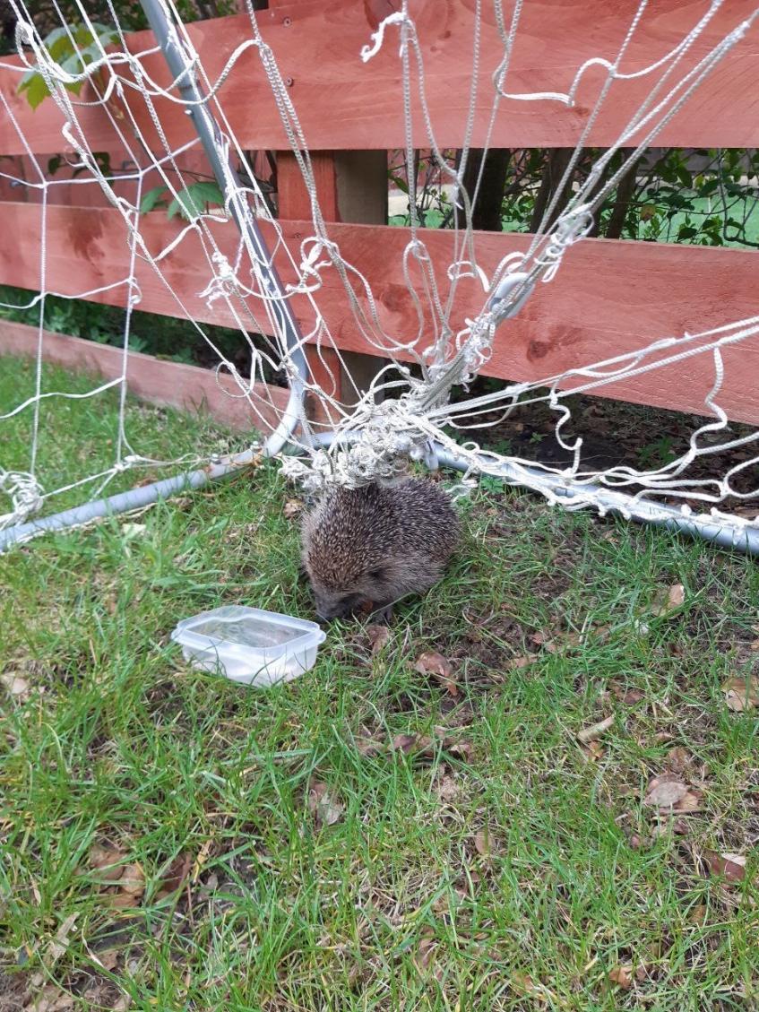 Trapped hedgehog