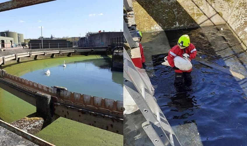 swans rescued from sewage tanks