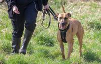 Brown dog in a field with a harness on