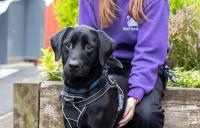 Black dog in a harness with a member of staff behind